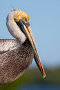 Pelican Profile Royalty Free Stock Photo