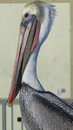 Pelican profile shot Royalty Free Stock Photo