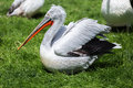 Pelican in profile sitting on the ground Royalty Free Stock Photo