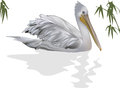 Pelican and reflection isolated on white illustration with background Stock Image