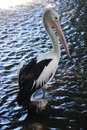 Pelican resting on a tree trunk Stock Images