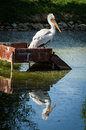 Pelican in a Russian zoo. Royalty Free Stock Photo