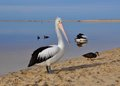 A pelican s glance western australia standing on the beach by the moore river in the sand with ducks and another in the background Royalty Free Stock Photo