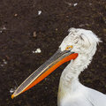 Pelican single standing on the bank of a pond Royalty Free Stock Photos