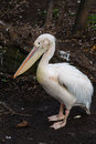 Pelican single standing on the bank of a pond Stock Photo