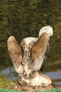 Pelican sitting on the bank of the summer pond Royalty Free Stock Photography
