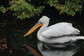 Pelican sitting on the bank of the summer pond Royalty Free Stock Photos