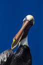 Pelican speaks a brown latin pelecanus occidentalis with its beak open Stock Photos
