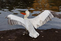 Pelican spread wings on the bank of a pond Royalty Free Stock Photography