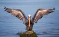 Pelican with spread wings perched on rock blue sea in background Royalty Free Stock Photos