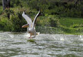 Pelican spreading its wings to fly the great white is huge bird with wingspan ranging from feet Stock Image
