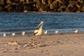 Pelican standing at the head of the seagulls on beach Royalty Free Stock Image