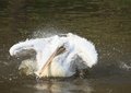 Pelican on the surface of lake ruffling feathers Stock Photo