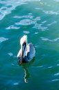 Pelican swiming a pelicans in the sea Royalty Free Stock Image