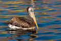 Pelican Swimming Royalty Free Stock Photography