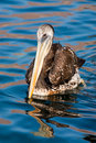 Pelican Swimming Royalty Free Stock Image
