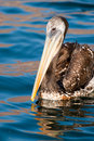 Pelican Swimming Stock Image