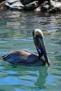 Pelican swimming in harbor of Cabo San Lucas Baja Mexico Royalty Free Stock Photo