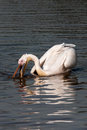 Pelican swimming in a lake white Stock Photography
