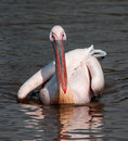 Pelican swimming white in the lake Royalty Free Stock Photos