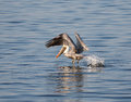 Pelican take off this brown is enjoying an afternoon of fishing he soars over the water and then dives on an unsuspecting fish the Royalty Free Stock Images