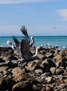 Pelican takeoff taking flight from shore in la paz mexico Stock Photo