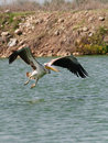 Pelican takes off Royalty Free Stock Images