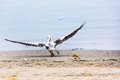 Pelican taking off on ballestas islands in paracas peru south america flora and fauna Royalty Free Stock Image