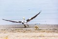 Pelican taking off on ballestas islands in paracas peru south america flora and fauna Royalty Free Stock Photography