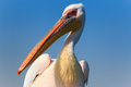 Pelican up close Royalty Free Stock Photo