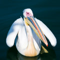 Pelican on water Stock Photography