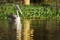 Pelican water reflection shot lake naivasha kenya Stock Photo