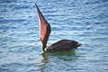 Pelican on water swallowing tasty fish Royalty Free Stock Photos