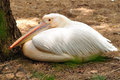 Pelican white in safari park central israel Royalty Free Stock Image