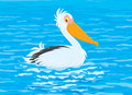 Pelican white swimming in blue water Royalty Free Stock Image