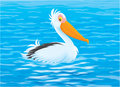 Pelican white swimming in blue water Stock Photo