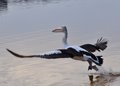 Pelican wingspan taking flight off over river water with winds spread Royalty Free Stock Images