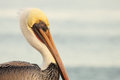 Pelican winter portrait a of a brown on a day in california Royalty Free Stock Photos