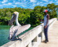 Pelican on a wooden bridge Royalty Free Stock Photo