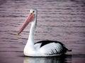 Pelican.(Pelecanus conspicillatus)
