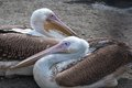 Pelicans Royalty Free Stock Photos