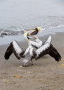 Pelicans on ballestas islands in paracas national park peru south america flora and fauna Royalty Free Stock Images