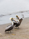Pelicans on ballestas islands in paracas national park peru south america flora and fauna Stock Photo