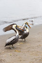 Pelicans on ballestas islands in paracas national park peru south america flora and fauna Stock Image