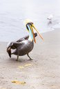 Pelicans on Ballestas Islands,Peru  South America in Paracas National park. Stock Photos