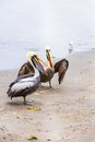 Pelicans on Ballestas Islands,Peru  South America in Paracas National park Stock Photo