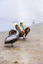 Pelicans on ballestas islands peru south america in paracas national park flora and fauna Stock Photography