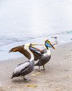 Pelicans on ballestas islands peru south america in paracas national park flora and fauna Stock Image