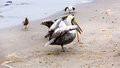 Pelicans on ballestas islands peru south america in paracas national park flora and fauna Stock Images