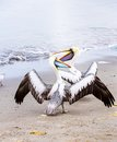 Pelicans on ballestas islands peru south america in paracas national park flora and fauna Stock Photos